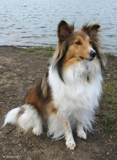 shetland sheepdog  this looks so much like my Bailey dog that we lost this year, I miss him so much