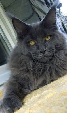 I want another Maine Coon. Harley and Garfield were the two most loyal cats I've ever had. Plus the are giant and gorgeous. - Spoil your kitty at www.coolcattreehouse.com