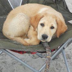 Yellow Labrador Retriever Labs #labradorretriever
