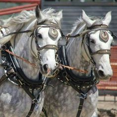 Percherons horses info Clean your Percherons horses's food bowls regularly. Wash bowls daily and fill them with fresh food and water that is clean. Big Horses, All About Horses, Show Horses, Beautiful Horses, Animals Beautiful, Pretty Horses, Horse Art, Horse Head, Percheron Horses