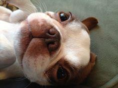 Boston Terrier face