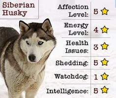 Qualities of Siberian Husky, something to note when finding my partner.