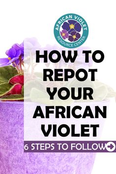 How to tell if your African Violet needs repotting. Learn to master repotting your African Violet with these 6 steps to follow. Discover how best to repot your African Violet so that it continues to thrive, grow, and product healthy and colorful blooms.