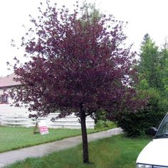 Canada red cherry (prunus virginiana)