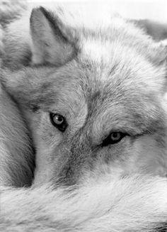 Liggende wolf.