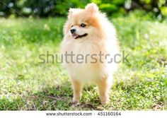cute fluffy Pomeranian dog in a spring park - stock photo Pomeranian, Royalty Free Images, Stock Photos, Park, Spring, Dogs, Cute, Animals, Animales