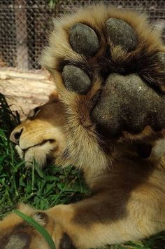 Talk to the lion paw. Animals And Pets, Funny Animals, Cute Animals, Wild Animals, Funny Cats, Beautiful Cats, Animals Beautiful, Big Cats, Cats And Kittens
