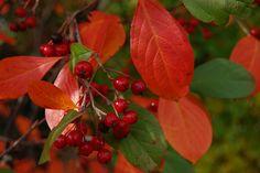 Foto: Appelbes 'Brilliant' heester met eetbare bessen *****