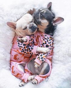 French Bulldog Harness, French Bulldog Breed, French Bulldog Clothes, Bulldog Breeds, Cute French Bulldog, French Bulldogs, Cute Baby Pigs, Baby Dogs, Doggies