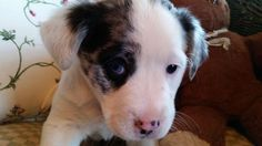 Meet VALENTINE, a Petfinder adoptable Australian Shepherd Dog | Nyc, NY | Please VISIT OUR FACEBOOK PAGE AND WEBSITE for the latest Social Tees news!...