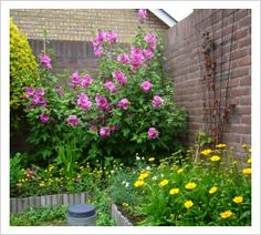 Lavatera x clementii 'Bredon Springs' Beth Chatto, Tall Plants, Organic Gardening, Garden Plants, Shrubs, Perennials, Nursery, Flowers, Garden Ideas