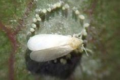 Kasvihuoneviljely - Tuholaiset | Farmit