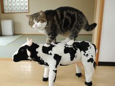 Aare you calling me a cow?