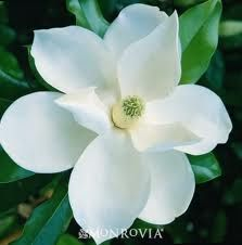 Southern Magnolia for June