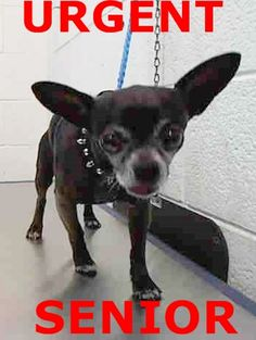 Urgent Dogs of Miami · ROCKY (A1670970) I am a male black and white Chihuahua - Smooth Coated. The shelter staff think I am about 6 years old. I was found as a stray and I may be available for adoption on 01/12/2015. https://www.facebook.com/urgentdogsofmiami/photos/pb.191859757515102.-2207520000.1420581718./905302482837489/?type=3&theater