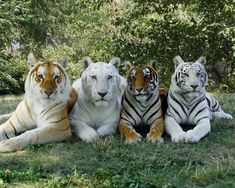 4 of Bengal friends, stars of the Tigers of India show sporting 4 color variations of the Bengal tiger: Bhutan (Golden Tabby), Madras (Snow White), Nina (Standard), and Tamara (White) Majestic Animals, Rare Animals, Cute Baby Animals, Animals And Pets, Funny Animals, Strange Animals, Big Animals, Big Cats, Cats And Kittens