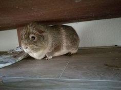 A guinea pig under a cabinet