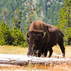 @rmrentals posted to Instagram: Our neighbors are wild. #ourfotoworld #yellowstonenationalpark #Yellowstone #yellowstonepledge #natgeoyourshot #naturephotography #canonusa #bison #bisonofinstagram #americanbison #nps #nationalparks #findyourwild #findyourpark #socialdistancing #quarantine #springfever #springhassprung #tamron #montana #montanaexplored #wyomingwildlife #tgif #usinterior #animalelite #weeeee #bozemanlife Yellowstone Vacation, Yellowstone National Park, National Parks, Sense Of Entitlement, Grand Parc, Animal Medicine, American Bison, Go It Alone, Best Family Vacations
