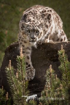 Indeever, the male snow leopard at Marwell Wildlife - UK. Big Cats, Cool Cats, Cats And Kittens, Beautiful Cats, Animals Beautiful, Cute Animals, Wild Animals, Baby Animals, Wildlife Photography