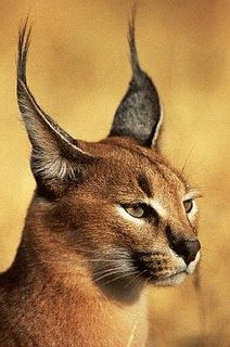 Caracals are found in woodland, savannah, scrub forests. Caracals use abandoned burrows, rock crevices or dense vegetation for their dens. Caracals are carnivorous and prey on birds, rodents, and small antelopes.