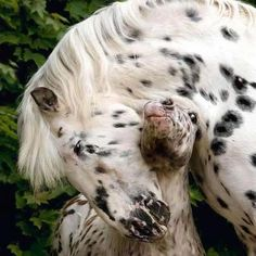 #Appaloosa Horse mommy and baby, awww
