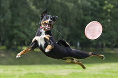 Best Dog Trainer: HOW TO CALM A HYPER DOG WITHOUT MEDICATION American Shepherd, Australian Shepherd Dogs, Dog Zoomies, Big Dog Little Dog, Hyper Dog, Dog Training Classes, Training Tips, Cool Gadgets To Buy, Dog Runs