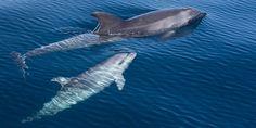 DELFINE - Patenschaften für Wale und Delfine. Grosser Tümmler. Hier kann man eine Patenschaft für Delfine übernehmen.
