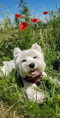 westie in the poppy field