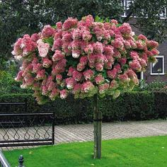 What a breathtaking sight! In mid-summer this color-changing Tree Hydrangea is covered with masses of snow-white flowers. In late summer, the flowers turn a beautiful bluish-pink aging to a purplish