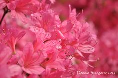 Love azaleas! They remind me of North Carolina in spring.