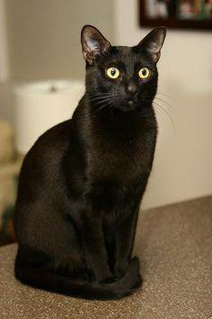 бомбейская кошка - Поиск в Google