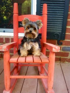 yorkie..rocking the front porch waiting to go out 4 dinnner on first night of vacation enjoy my little one