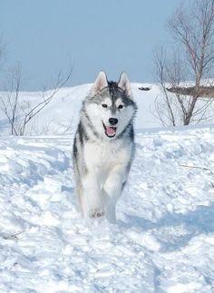 Life with a Siberian husky Alaskan Husky, Siberian Husky Puppies, Alaskan Malamute, Siberian Huskies, Wolf Husky, My Husky, Husky Puppy, Akita, Shiba Inu