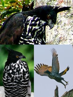Blyth's Hawk-Eagle (LC) Raptors, Vulnerability, Eagle, Owl, Animals, Vulture, Birds, Animales, Animaux