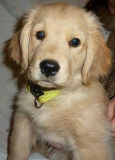 Sophie, golden retriever