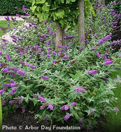 Blue Chip' Butterfly Bush Buddleia hybrid      A non-invasive, miniature butterfly bush     Continuous blooms from mid-summer to fall     Easy to grow plant adds purple-blue color to your landscape     Attracts hummingbirds and butterflies - deer resistant shrub     Proven Winner® flowering shrub     1 quart container     Zones 5 to 9