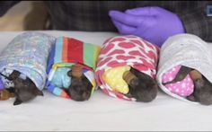 Orphaned Baby Bats in Blankies are The Key to Your Adorable Fix Today