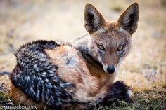 Blackbacked Jackal by Manuel Romaris