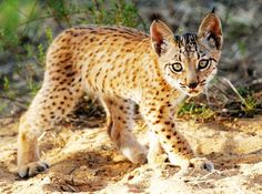 The Iberian Lynx - found throughout the Iberian Peninsula - is world's most critically endangered feline. This year Arbor Day is partnered with Bosques Sostenibles to replant the Iberian Lynx habitat in Spain. If you're interested in donating to this project, please click here!