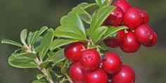 Ovo voće je naš najbolji saveznik u borbi protiv urinarnih infekcija Mixed Fruit, Mixed Berries, Green Nature, Flowers Nature, Beautiful Fruits, Nature Aesthetic, Exotic Fruit, Fruit Garden, Gardens