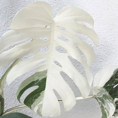 Easy To Grow Houseplants Clean the Air Gardening Plant Aesthetic, Flower Aesthetic, House Plants Decor, Plant Decor, Easy To Grow Houseplants, Inside Plants, Pink Plant, White Plants, Plants Are Friends