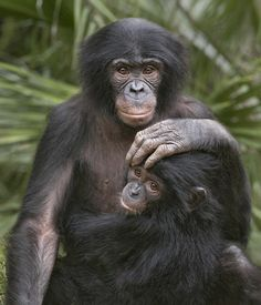 """Bonobos by Official San Diego Zoo. """"Even after one year of age, bonobo infants do not walk or climb much, and are very slow. The mothers keep them near. They start to play with others at about one and a half years, which is much later than in the chimpanzee. During this period, mothers are very attentive…""""  (Bonobo: The Forgotten Ape, Frans de Waal & Frans Lanting)  www.worldtransformation.com/freedom-book1-bonobos-evidence-whole-love-indoctrination-process/"""
