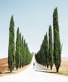 cypress in Toscana Italy captured by Darren Brogan (Scotland) Instagram @poetic_mouse