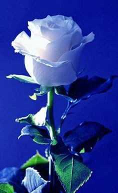 Other photos will be deleted. Beautiful Rose Flowers, Pretty Roses, Rare Flowers, Love Rose, Exotic Flowers, Purple Roses, White Roses, Rose Images, Morning Flowers