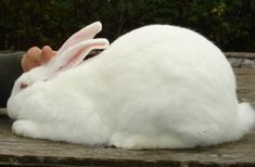 All rabbit breeds recognized in USA; compare, choose, and find a breeder