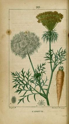 """Daucus carota(Carrot)  """"Flore médicale"""" Chaumeton et Turpin en 8 volumes - Paris 1814-1820"""