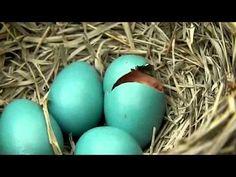 nacimiento de pajaro bebe - YouTube