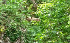 Νεαρή αρκούδα... γυροφέρνει στο Μικρό Πάπιγκο   naftemporiki.gr