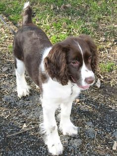 Pictures of English Springer Spaniel Dog Breed