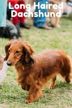 Mini Long Haired Dachshund, Dapple Dachshund, Dachshund Puppies, Cute Dogs And Puppies, Chihuahua Dogs, Pet Dogs, Pets, Shelter Dogs, Animal Shelter